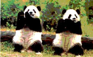 Panda-dance