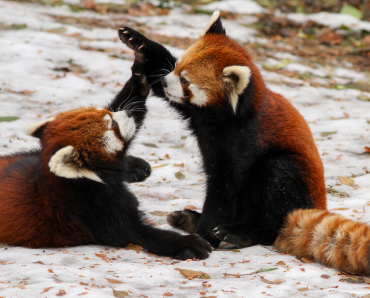 Red pandas high fiving (yes, this could very well be the best image alt text ever...)