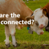 Bing Cedric Chambaz Connected Cows